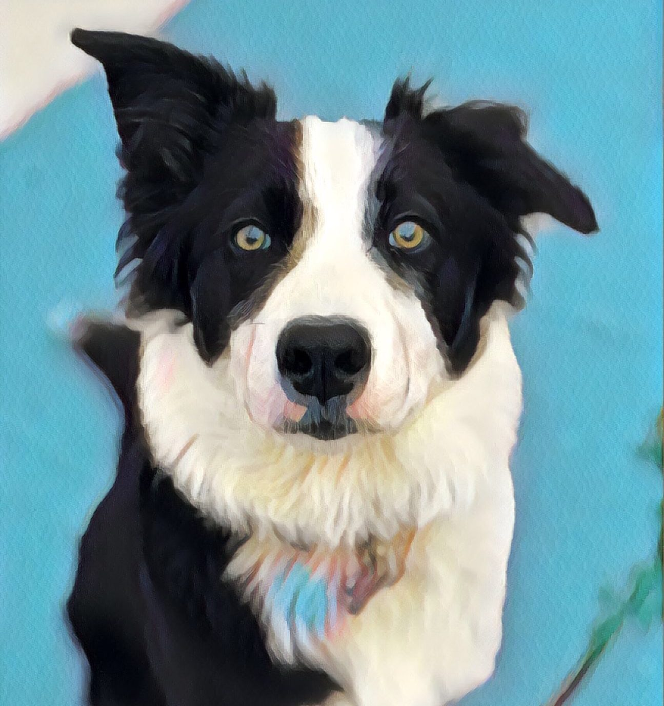 Suburban Border Collie
